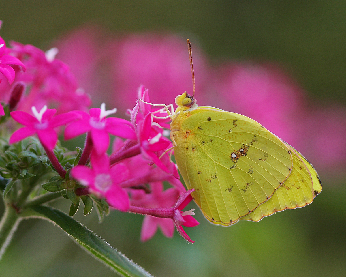 Cloudless Sulphur Butterfly_Small